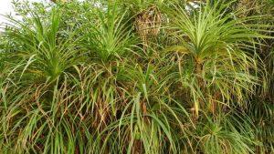 Thicket of Pandanus candelabrum growing in Mali, West-Africa